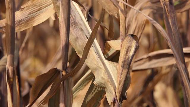 Kukuruz i dalje najznačajniji izvozni proizvod
