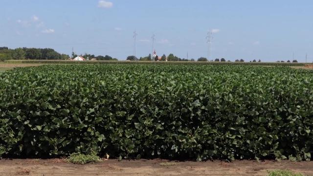Odustvo ponude diglo cenu kukuruza