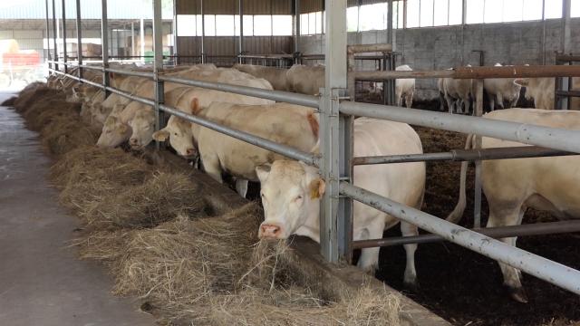 Kreće izvoz junećeg mesa za Tursku