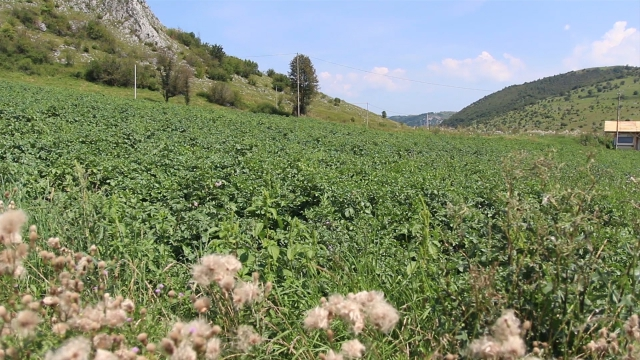 Najkvalitetniji krompir sa brda i planina