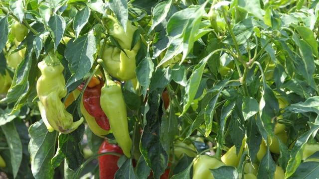 Paprike isplativije od lubenice