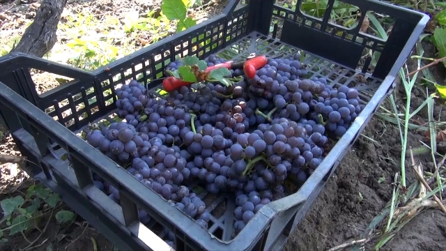 Vinogradari u Sremu spremni za berbu grožđa