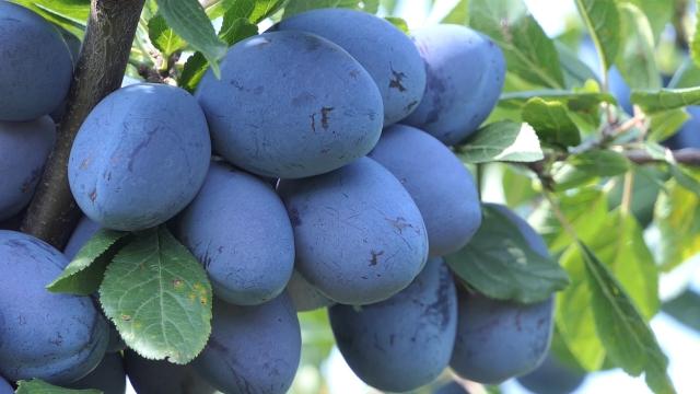 Rod voća manji nego lane