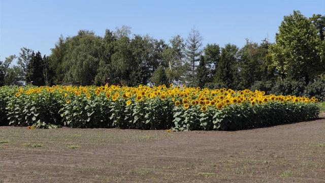 Najviše uzurpiranog zemljišta pod suncokretom