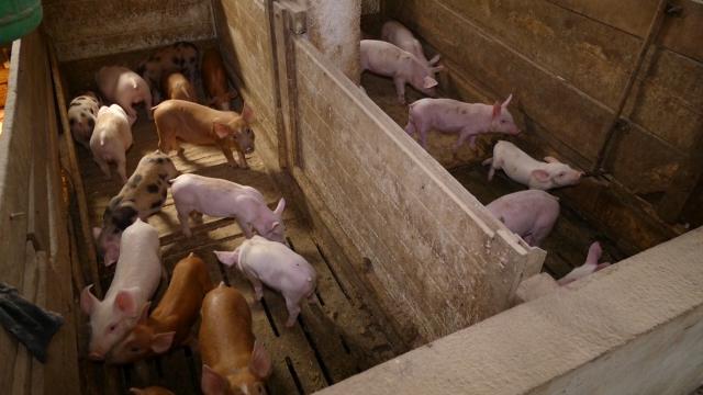 Selo Aleksandrovac žarište afričke kuge svinja