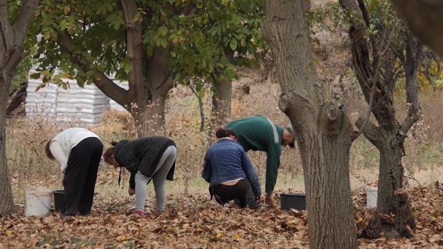 U Pomoravskom okrugu sve više zasada oraha