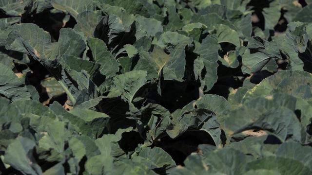 Karfiol zehteva posebnu negu i zaštitu