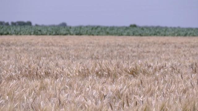 Potencijal izvoza žitarica - 900 miliona dolara