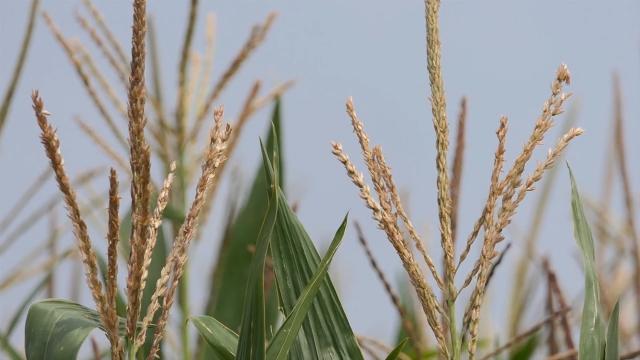 U najavi rekord kukuruza