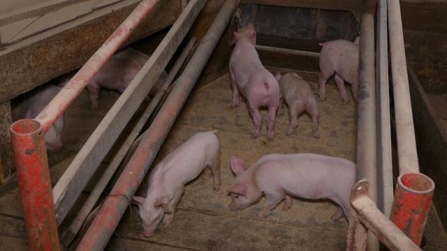 Izvoz svinjskog mesa dozvoljen samo u zemlje CEFTA