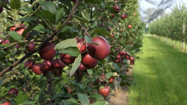 Nove sorte jabuka za nova vremena