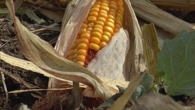 Izuzetno dobra godina za kukuruz