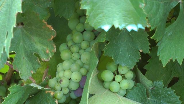 Vremenski uslovi nisu išli na ruku vinoradarima