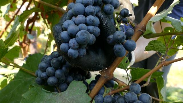 Godina iskušenja za vinogradare, posebno u rejonu Tri Morave