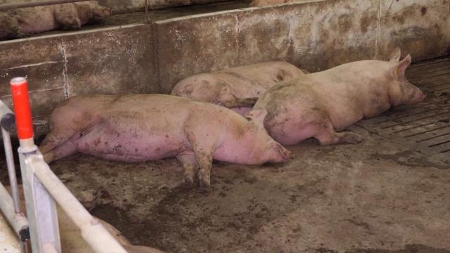 Počela kampanja o značaju prevencije afričke svinjske kuge