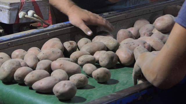 Rekorder u proizvodnji krompira iz Lalića