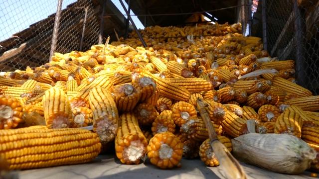 Kukuruz se otkupljuje po ceni od 19,50 din/kg