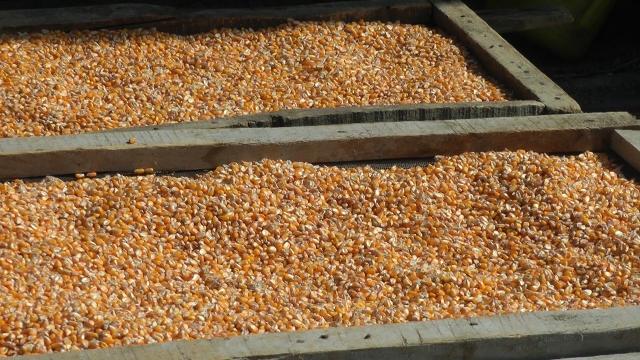 Očekuje se značajan izvoz kukuruza