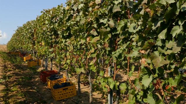 Vranjsku kotlinu odlikuje idealna klima za uzgoj vinove loze