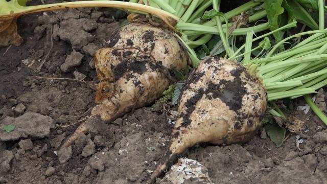 Vremenski uslovi pogodovali proizvodnji šećerne repe