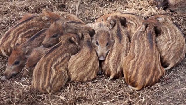 Za sada bez zaraze domaćih svinja u okolini Pirota
