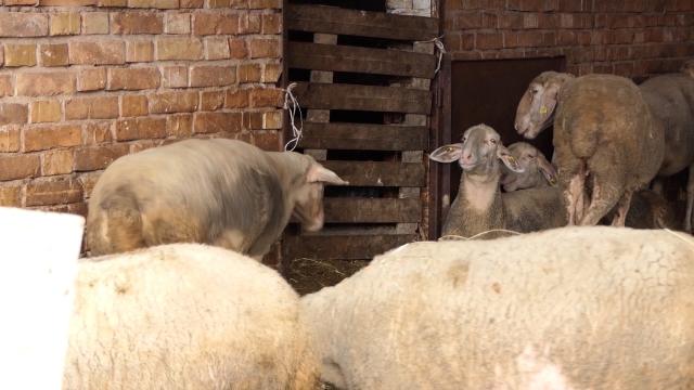 Dodatnu zaradu mogao bi doneti ovčiji sir i kajmak