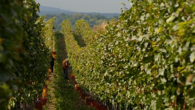 Vinogradarstvo perspektivno u valjevskom kraju