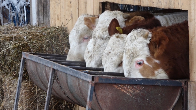 Uskoro se očekuje izvoz junećeg mesa u Jordan, Liban i Egipat