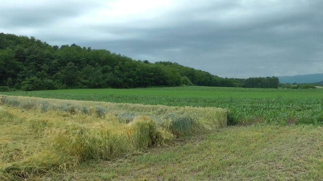 Otvorena vrata novoj generaciji sorti pšenice i ječma