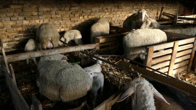 Topola dodeljuje po pet jagnjadi  Virtemberg rase