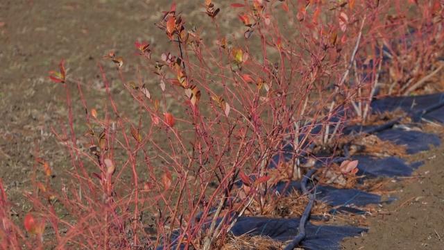 Za uspešan uzgoj borovnice potrebno kiselo zemljište