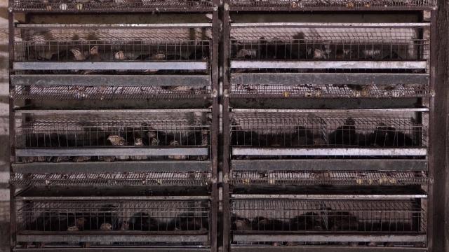 Jaja japanskih prepelica tražena za podizanje imuniteta