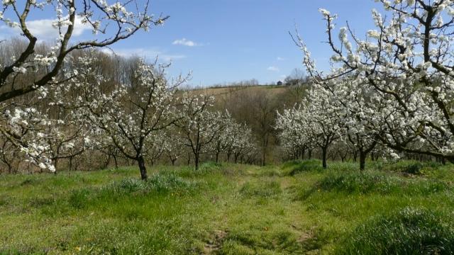 Za proređivanje ploda jabuke potrebno  znanje i iskustvo