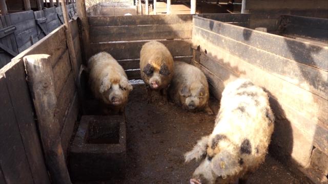Stare sorte svinja nestaju