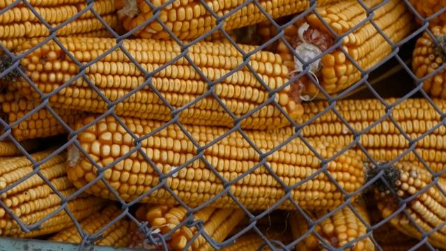 Rast cena kukuruza, pšenice i soje