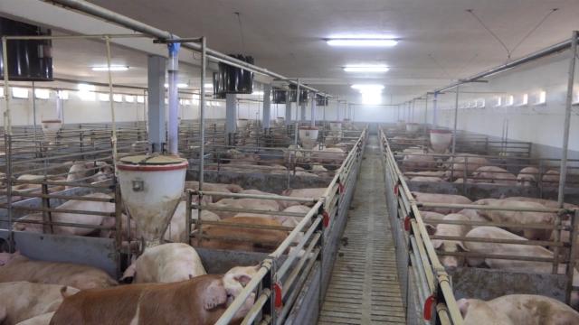 Manje svinja u Srbiji