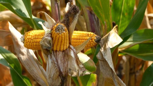Rast izvoza žitarica se nastavlja