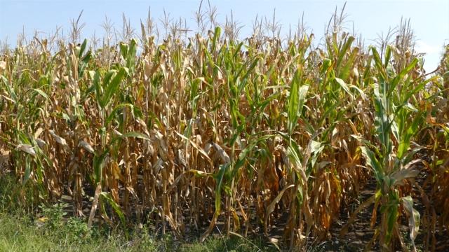 Cene kukuruza i pšenice ponovile rekord iz 2013.