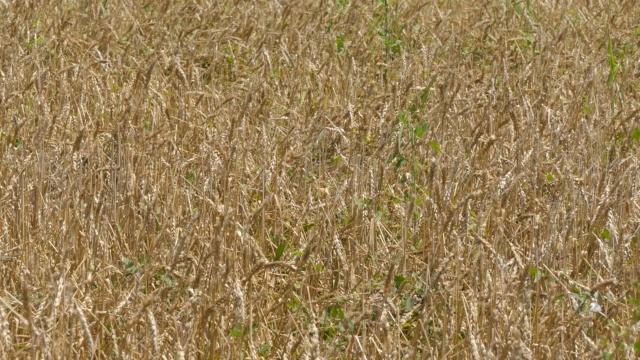 U Obrenovcu besplatno osiguranje za pšenicu i kukuruz