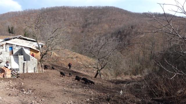 Autohtone rase  svinja ponovo aktuelne  u Srbiji