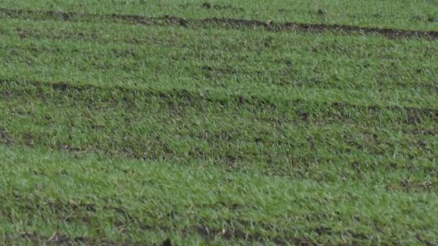 Uvećane površine pod pšenicom