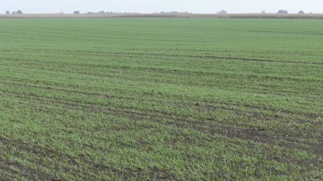 Dobro stanje pšenice u severnom Banatu