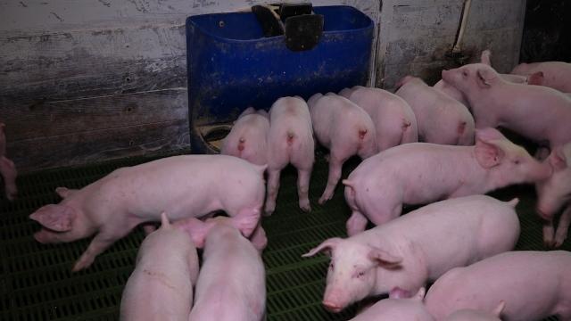 Tov svinja donosi sve veći gubitak