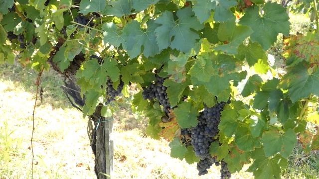 Ljubav - preduslov za vinogradarstvo i vinarstvo