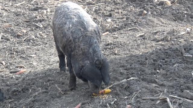 Od zaborava čuvaju svinje koje smo nasledili od predaka