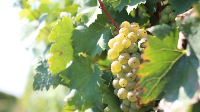 Autohtone sorte grožđa vinima daju autentičnost