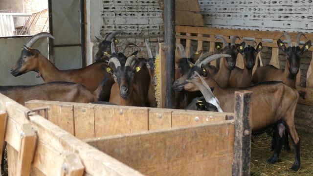 Po proizvodnji kozjeg melka Severnobanatski okrug jedan od najboljih u zemlji