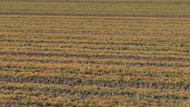 Mnoga žitna polja žuta, umesto da se zelene