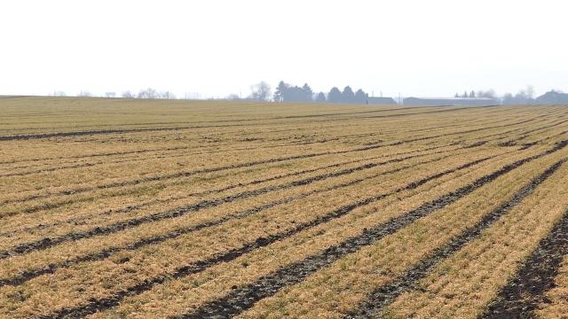 Zažutela se polja pod pšenicom i ječmom