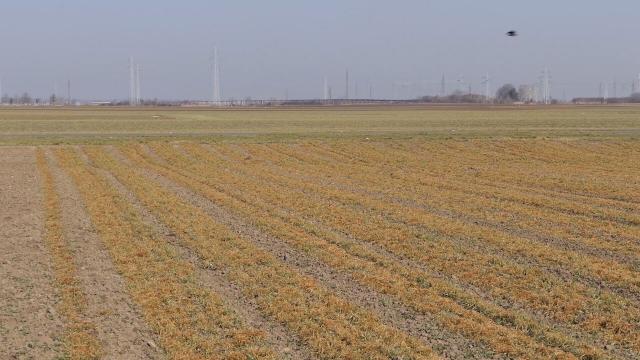 Pšenica u boljem stanju nego prošle godine